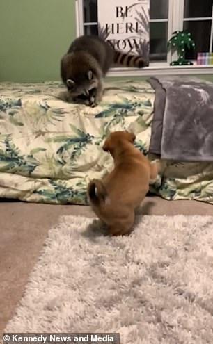 Dogilike.com :: หนุ่มเผยคลิปน่ารัก คู่ซี้น้องหมาเล่นสนุกกับเจ้าแรคคูน ! (มีคลิป)