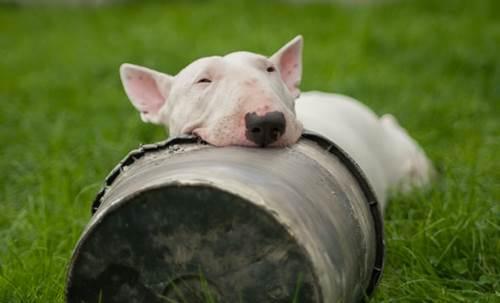Dogilike.com :: จัดอันดับ 5 สายพันธุ์น้องหมากินเก่ง ชอบทำเนียนว่า ยังไม่ได้กิน!
