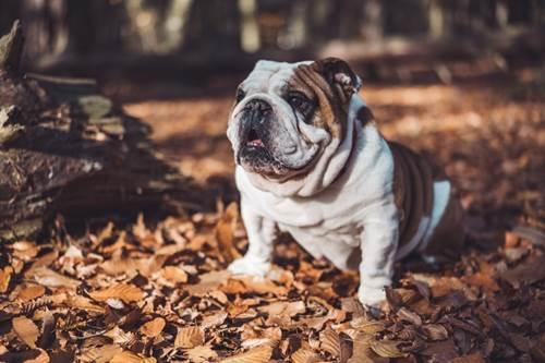 Dogilike.com :: เลี้ยงหมาพันธุ์หน้าย่น กับปัญหาเรื่องกลิ่นที่ต้องดูแลเป็นพิเศษ !