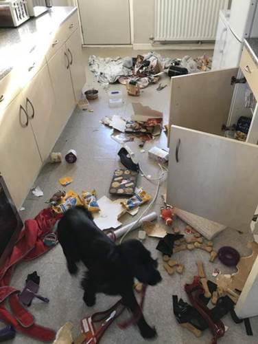 Dogilike.com :: เจ้าของคิดว่าโจรขึ้นบ้านหลังห้องครัวเละเทะ สุดท้ายพบเป็นฝีมือตูบ!