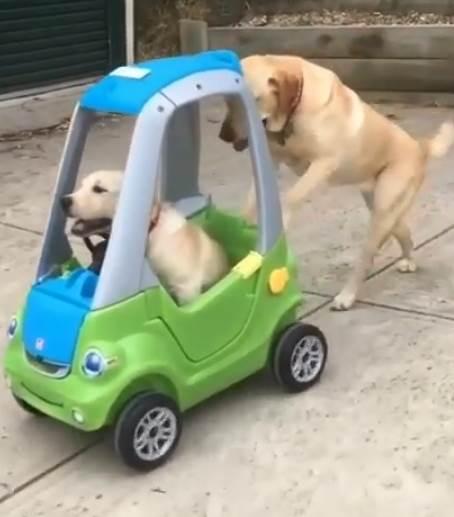 Dogilike.com :: ไวรัลทั่วโลก! คลิปตูบแสนรู้เข็นรถของเล่นให้น้องชายนั่ง