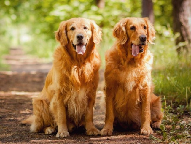 Dogilike.com :: งานในฝัน! คู่รักประกาศหาพี่เลี้ยงให้ 2 โกลเด้นฯ เสนอเงินเดือนละแสน