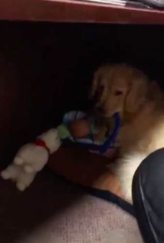 Dogilike.com :: หลักฐานชัด! สุนัขบำบัดประจำสถานีตำรวจแอบขโมยของเล่น (คลิป)