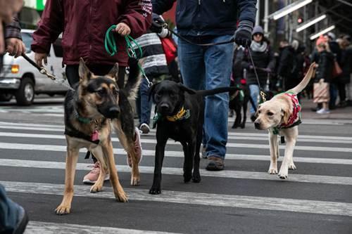 Dogilike.com :: เอ็นดู! แก๊งน้องหมานำทางบุกไทม์สแควร์ ฝึกสมาธิในที่สาธารณะ
