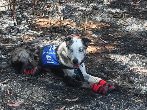 Dogilike.com :: เจ้า Bear สุนัขฮีโร ผู้อยู่เบื้องหลังภารกิจช่วยชีวิตโคอาลา !