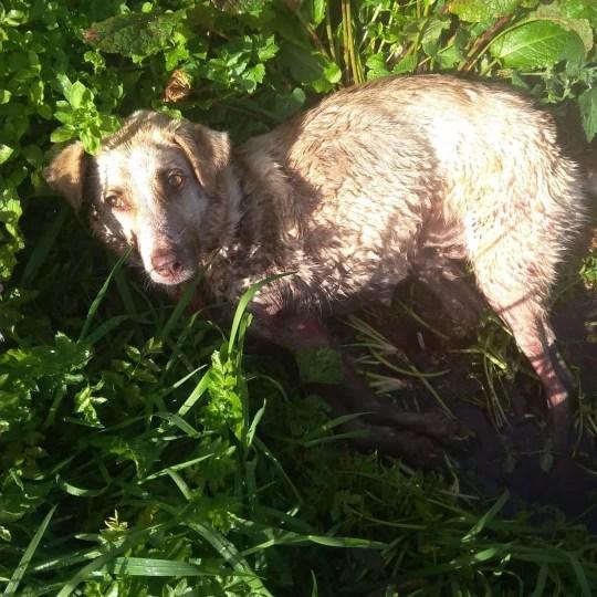 Dogilike.com :: ตูบแม่ลูกอ่อนรอดหวิด หลังเจ้าของใช้ปืนยิง 2 นัด จับลากไปบนถนน!