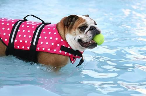 Dogilike.com :: จัดอันดับ 5 สายพันธุ์สุนัขว่ายน้ำไม่เก่ง ต้องดูแลใกล้ชิด!