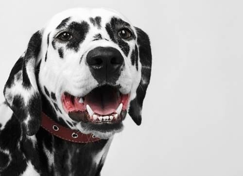 Dogilike.com :: 4 tips ง่ายๆ ดูแลฟันน้องหมาให้ขาวปิ๊ง ไร้กลิ่นปาก !