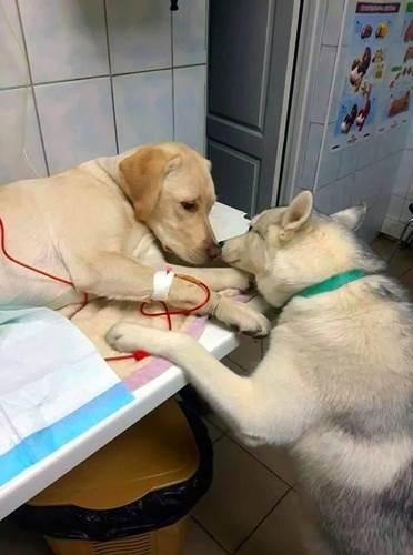 Dogilike.com :: ทั่วโลกปลื้ม! ภาพตูบผู้ช่วยสัตวแพทย์ ทำหน้าที่ให้กำลังใจเพื่อนสุนัขป่วย