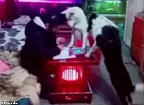 Dogilike.com :: พ่อชาวจีนฝึกตูบให้เฝ้าลูกสาวทำการบ้าน ไม่เขวจับมือถือเล่น!