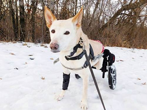 Dogilike.com :: สงสาร! พบตูบพิการถูกทิ้งข้างทางพร้อมวีลแชร์และถุงผ้าอ้อม