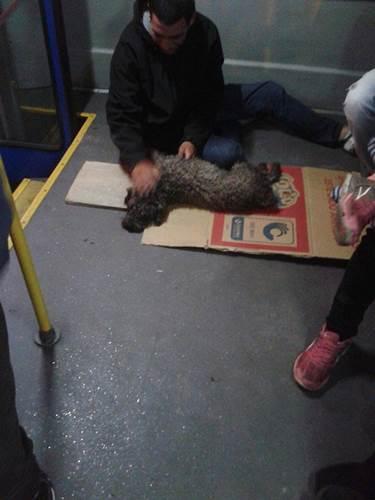Dogilike.com :: ใจหล่อมาก! คนขับรถบัสเห็นสุนัขโดนรถชน รีบจอดช่วยพาส่งคุณหมอ