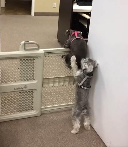 Dogilike.com :: แสบสุดๆ! เผยคลิป 2 ตูบช่วยกันปีนข้ามรั้วออกไปหาขนมกิน