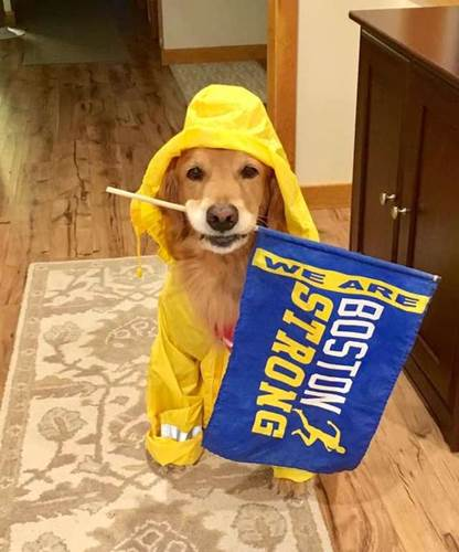 Dogilike.com :: โกลเด้นฯ น่ารัก คาบธงให้กำลังใจนักวิ่งในงานบอสตันมาราธอน!