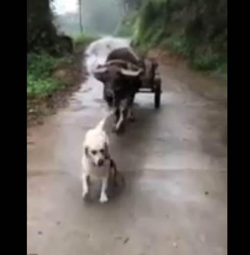 Dogilike.com :: คู่หูต่างพันธุ์! เผยคลิปน่ารักเจ้าตูบดูแลเจ้าทุย จูงเดิน คาบหญ้ามาให้ (คลิป)