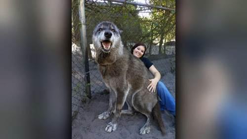 Dogilike.com :: ชาวเน็ตแห่แชร์ภาพหมาป่าตัวใหญ่ยักษ์ในศูนย์อนุรักษ์สัตว์ฟลอริด้า!