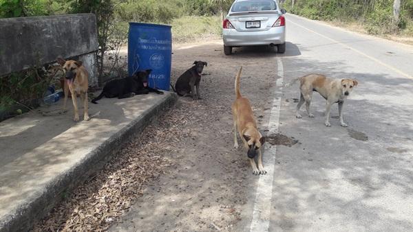 Dogilike.com :: เลี้ยงไม่เสียข้าวสุก! ฝูงตูบจรจัดฯ ช่วยชีวิตคุณป้าหลังโจรพยายามชิงทรัพย์
