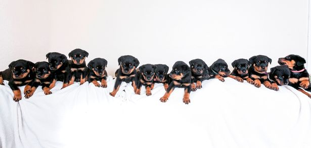 Dogilike.com :: เยอะไปไหน! ร็อตไวเลอร์ทุบสถิติคลอดลูก 16 ตัวมากที่สุดในอังกฤษ