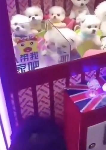 Dogilike.com :: วิจารณ์เดือด! จีนจับลูกหมาตัวเป็นๆ ใส่ตู้คีบตุ๊กตา ติดป้ายพากลับบ้านที