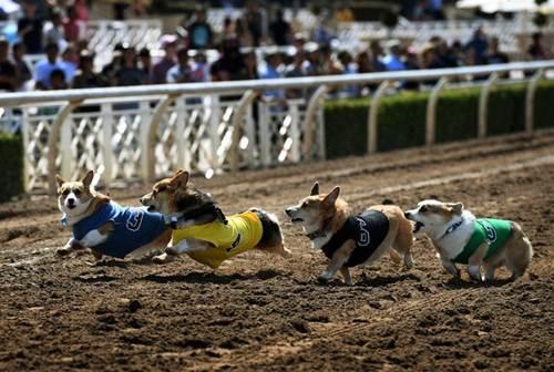 Dogilike.com :: ขาสั้นแต่มั่นมาก! มะกันจัดงานแข่งวิ่งคอร์กี้ ชนะใจผู้ชมทั้งสนาม(คลิป)