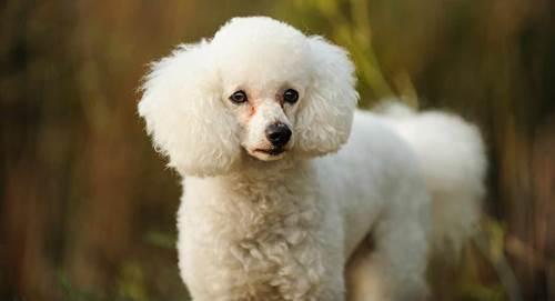 Dogilike.com :: จัดอันดับ 5 สายพันธุ์น้องหมากลิ่นตัวไม่แรง น่ารักน่าเลี้ยง !
