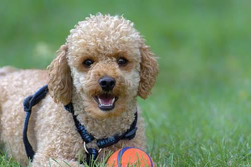 Dogilike.com :: จัดอันดับ 5 สายพันธุ์น้องหมาผลัดขนน้อย เหมาะกับคนเป็นภูมิแพ้ !