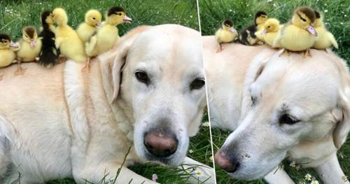 Dogilike.com :: เจ้า Fred ลาบราดอร์ชื่อดังแห่งอังกฤษ รับเลี้ยงลูกเป็นกำพร้าชุดใหม่อีก 6 ตัว!