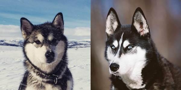 Dogilike.com :: จัดอันดับ 5 คู่สายพันธุ์น้องหมาหน้าแฝด จนคิดว่าเป็นพันธุ์เดียวกัน