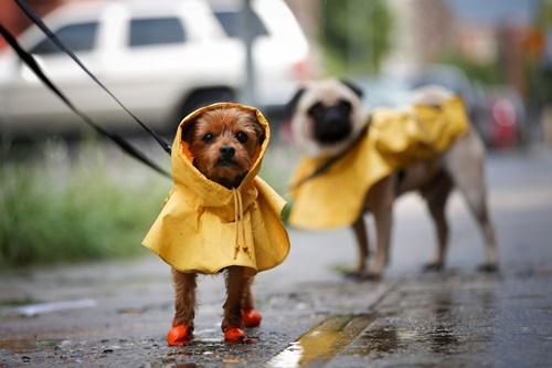 Dogilike.com :: 4 สถานการณ์เสี่ยง ทำน้องหมาเจ็บป่วยได้ง่ายๆ ในหน้าฝน !