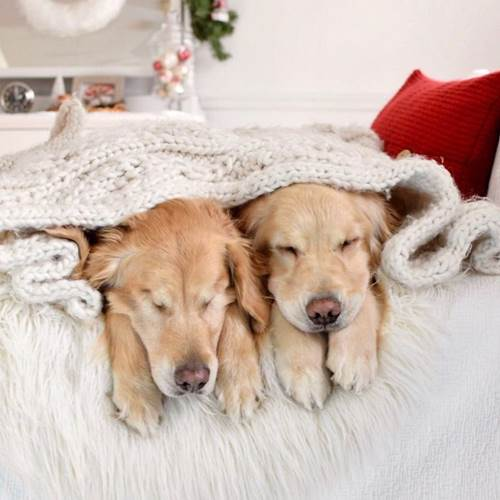 Dogilike.com :: เรื่องราวน่ารัก! โกลเด้นฯ คอยนำทางเพื่อนตูบตาบอด ไปไหนก็ไปด้วยกัน