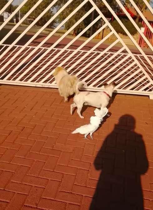 Dogilike.com :: เนียนได้อีก! นกกระตั้วน้อยเลียนแบบเพื่อนตูบ เห่าไล่แถมเฝ้าบ้านเก่ง (คลิป)