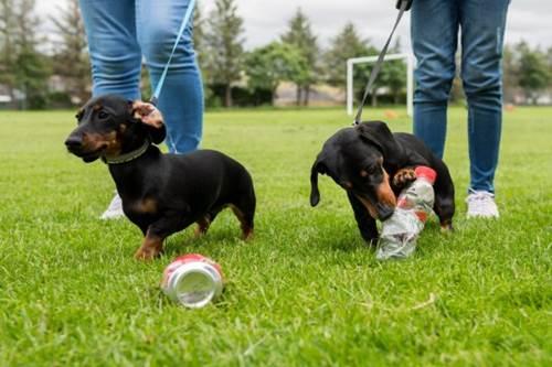 Dogilike.com :: น่ารัก! 2 ดัชชุนถูกฝึกให้เก็บขวดพลาสติกไปทิ้งขยะทุกวันที่เดินเล่น