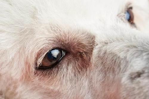 Dogilike.com :: Tip ง่ายๆ อาการแบบไหนที่บอกว่า ดวงตาน้องหมากำลังมีปัญหา !