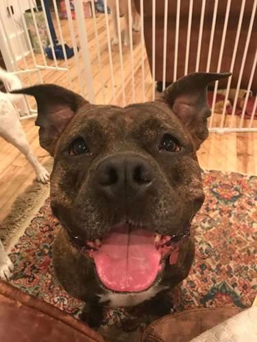 Dogilike.com :: ดูแลคุณยาย! เรื่องราวพิทบูลฯที่ตามติดทุกฝีก้าว จนแน่ใจว่าปลอดภัย