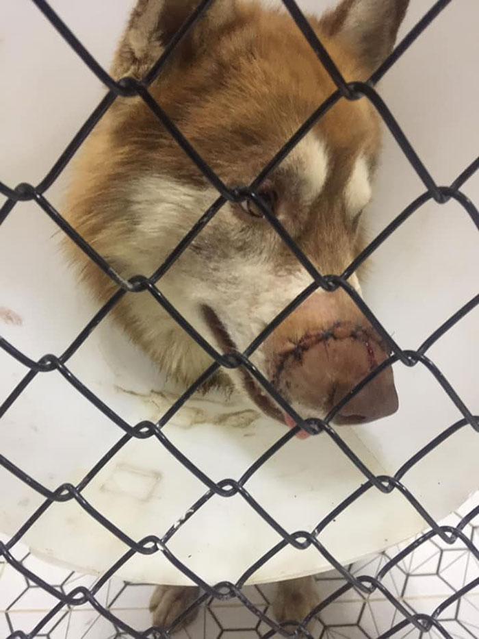 Dogilike.com :: สลดใจ! ฮัสกี้ถูกฟันจนจมูกเกือบขาด เจ้าของโวย คนใจบาปเท่านั้นที่ทำได้
