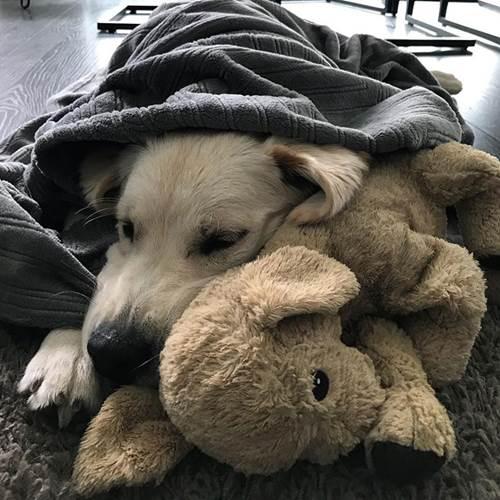 Dogilike.com :: โกลเด้นฯเป็นหมามุ้งมิ้ง! เจ้า Barley กับตุ๊กตาคู่หูไปไหนต้องพาไปด้วย