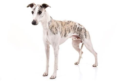 Dogilike.com :: จัดอับดับ 5 สายพันธุ์น้องหมาเอว S ผอมเพรียวแต่ไม่ขี้โรคนะ !