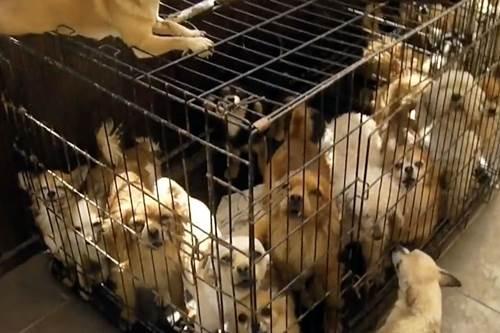 Dogilike.com :: อังกฤษจับผู้เพาะพันธุ์สุนัข หลังพบหมาแมวกว่า 100 ชีวิตอยู่แออัด เจ็บป่วย!