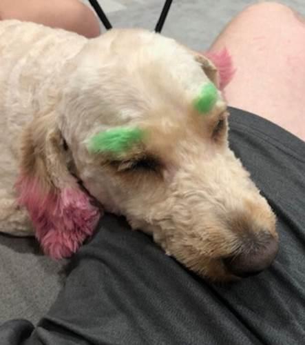 Dogilike.com :: สาวฉุน! พาหมาอาบน้ำตัดขน แต่กลับโดนย้อมสีขนจนดูเป็นตัวตลก