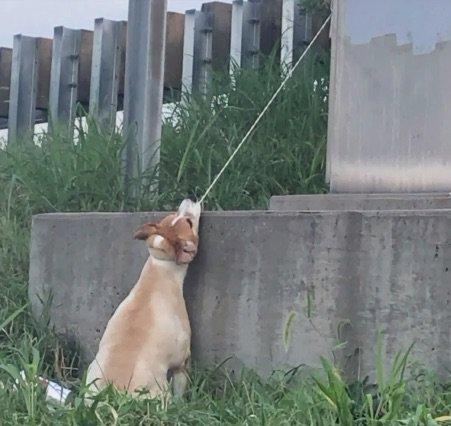 Dogilike.com :: พลเมืองดีขับรถผ่านเห็นตูบถูกล่ามสายจูงรั้งคอ รีบช่วยรอดตายหวุดหวิด!