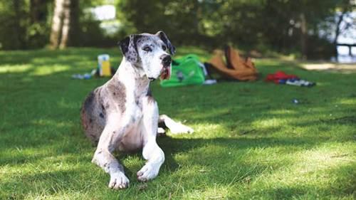 Dogilike.com :: จัดอันดับ 5 สายพันธุ์น้องหมาตัวใหญ่ แต่เฝ้าบ้านไม่ได้ !!