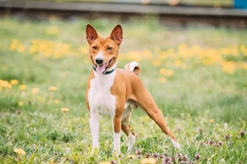 Dogilike.com :: จัดอันดับ 5 สายพันธุ์น้องหมาไม่ส่งเสียงเห่า !