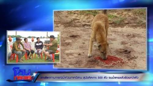 Dogilike.com :: สุดสะเทือนใจ! หมาโดน น้ำท่วม -ติดเกาะ500ตัว จมตายนับร้อย ได้ยินเสียงร้อง-ช่วยไม่ได้
