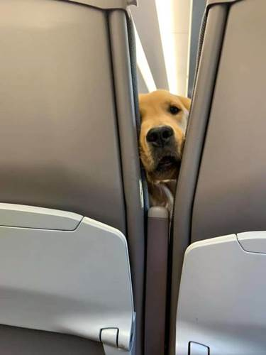 Dogilike.com :: เจ้าตูบนั่งเครื่องบินครั้งแรก มันทำแบบนี้จนผู้คนตกหลุมรักกันทั้งลำ!