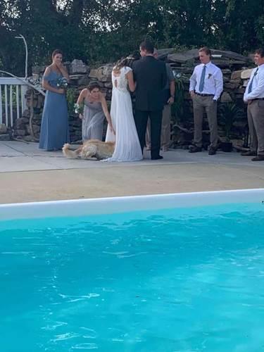 Dogilike.com :: วิวาห์วุ่น! โกลเด้นฯอดใจไม่ไหวลงว่ายน้ำเล่น ก่อนเอาตัวเช็ดชุดเจ้าสาว