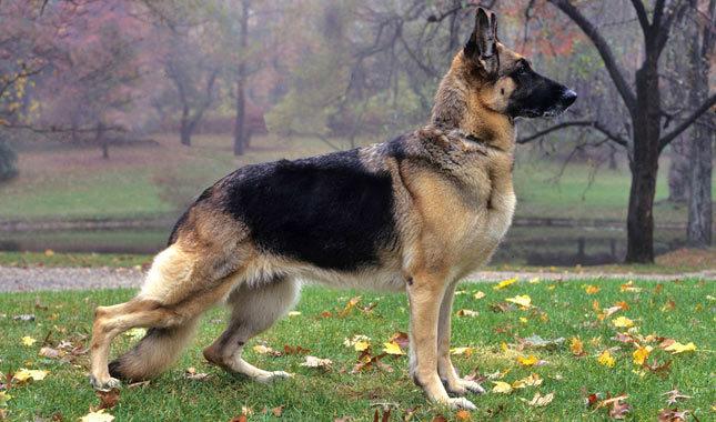 Dogilike.com :: 10 พันธุ์สุนัขสวยเวอร์และแพงสุดในปี 2019