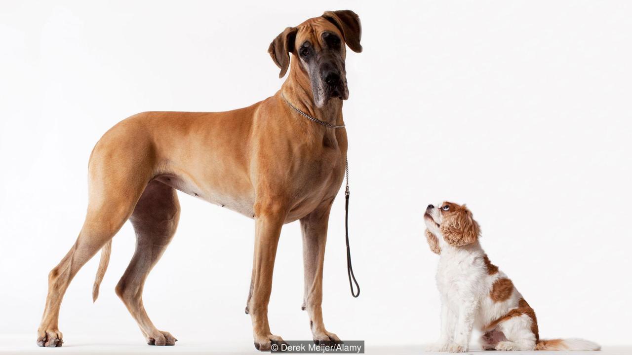 Dogilike.com :: สุนัขพันธุ์ใหญ่หรือพันธุ์เล็ก พันธุ์ไหนเป็นสุนัขที่ฉลาดกว่า