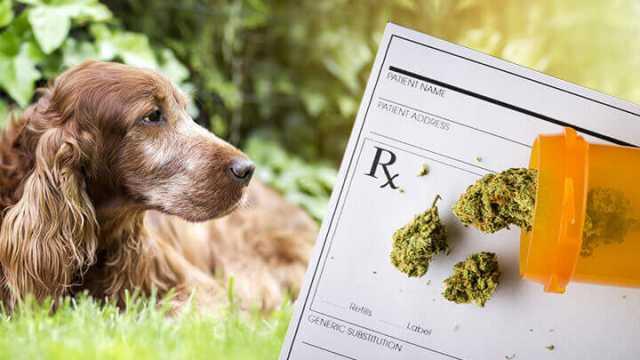 Dogilike.com :: อนาคตของกัญชากับการใช้รักษาโรคในสุนัข