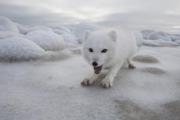 Dogilike.com :: ทำไมสุนัขจิ้งจอกถึงได้รับบทผู้ร้าย ความเชื่อ vs ความจริง