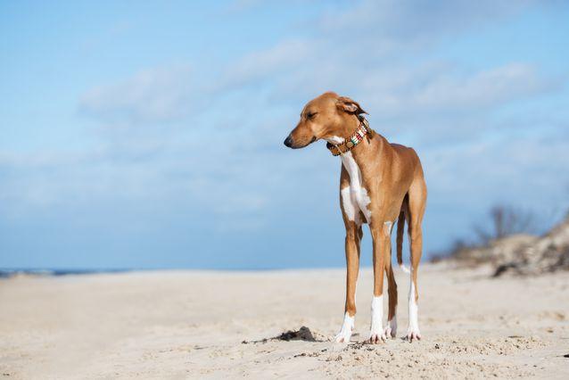 Dogilike.com :: รู้จัก อาซาวัค (Azawakh) สุนัขพันธุ์ล่าสุดที่ได้รับการบรรจุชื่อใน AKC